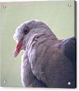 Pink Pigeon Nesoenas Mayeri Acrylic Print