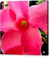 Pink Pinwheel Acrylic Print