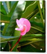 Pink Plumeria In Bloom Acrylic Print
