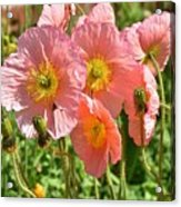 Pink Poppies 2 Acrylic Print