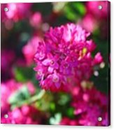 Pink Profusion 2 Acrylic Print