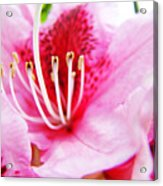 Pink Rhodie Flowers Art Prints Canvas Rhododendrons Baslee Troutman Acrylic Print