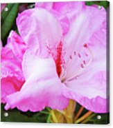 Pink Rhododendron Art Print Floral Canvas Rhodies Baslee Troutman Acrylic Print