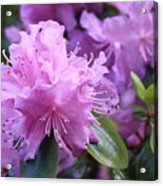 Light Purple Rhododendron With Leaves Acrylic Print