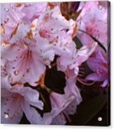 Pink Rhododendrums  Acrylic Print