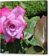 Pink Rose 1 Acrylic Print