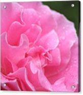 Pink Rose - 2 Acrylic Print