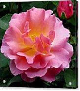 Pink Rose 3 Acrylic Print