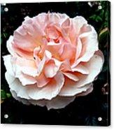Pink Rose 4 Acrylic Print