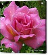 Pink Rose After Rain Acrylic Print
