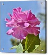 Pink Rose Against Blue Sky I Acrylic Print