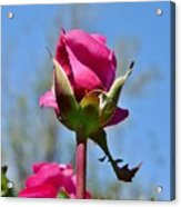 Pink Rose Against Blue Sky Iv Acrylic Print