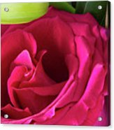 Pink Rose And Bud Close-up Acrylic Print