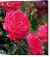 Pink Rose And Bud Acrylic Print