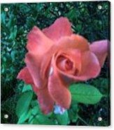 Pink Rose Awakening Acrylic Print