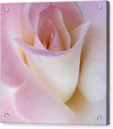 Pink Rose Beginnings Acrylic Print