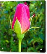 Pink Rose Bud Acrylic Print