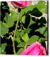 Pink Rose Buds Acrylic Print