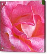 Pink Rose Close Up Acrylic Print