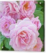 Pink Rose Cluster II Acrylic Print