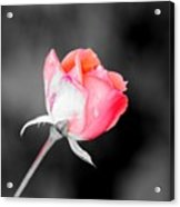 The October Rose    Acrylic Print