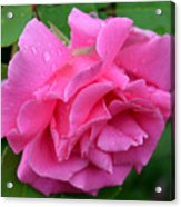 Pink Rose In Profile Acrylic Print