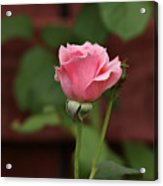 Pink Rose In The Garden Acrylic Print