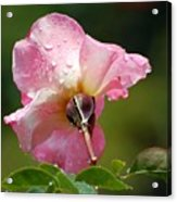 Pink Rose In The Rain 2 Acrylic Print