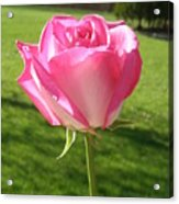 Pink Rose In The Sunlight Acrylic Print