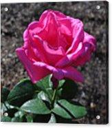 Pink Rose Acrylic Print by Luke Moore