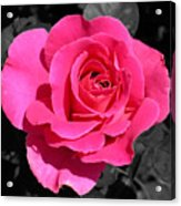 Perfect Pink Rose Acrylic Print