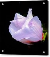 Pink Rose Of Sharon Glowing On A Black Background Acrylic Print