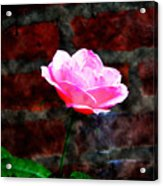Pink Rose On Red Brick Wall Acrylic Print