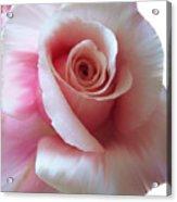 Pink Rose Painting Acrylic Print