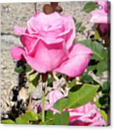 Pink Rose... Roses Acrylic Print