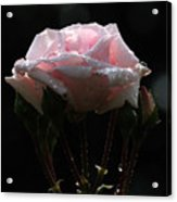 Pink Rose Silhouette 2 Acrylic Print