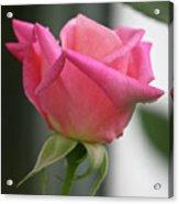 Pink Rose Squared Acrylic Print