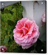 Pink Rose Acrylic Print by Valeria Donaldson