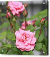 Pink Rose With Buds Acrylic Print