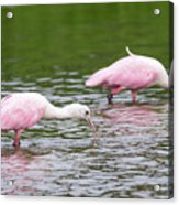Pink Roseate Spoonbills Feeding Acrylic Print