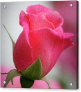 Pink Rosebud 1 Acrylic Print