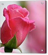 Pink Rosebud 3 Acrylic Print