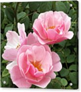 Pink Roses 1 Acrylic Print