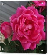 Pink Roses 2 Acrylic Print