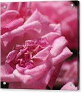 Pink Roses Acrylic Print