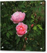 Pink Roses In A Garden Acrylic Print