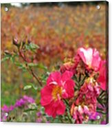 Pink Roses In Fall Acrylic Print