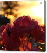 Pink Roses Sunset Acrylic Print
