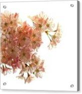 Pink Sakura Acrylic Print