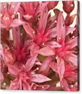 Pink Sedum Flower Macro Acrylic Print